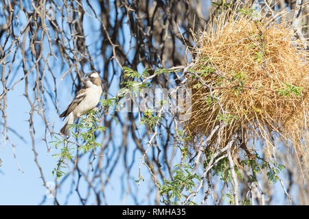 White-browed sparrow weaver, Plocepasser mahali,  Kgalagadi Transfrontier Park, Northern Cape, South Africa perched alongside nest in camelthorn tree - Stock Photo