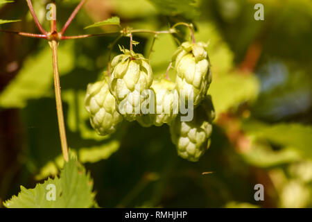 Green fresh hops cones for making beer and bread close-up, agricultural background, hops cones detail in hops field. - Stock Photo