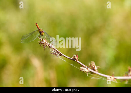 Red dragonfly resting, sitting on a branch. Dragonfly close-up, on a blurred background of green forest. Selective focus. - Stock Photo