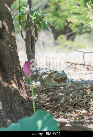 Saltwater crocodile cooling off on the banks of the Adelaide River in the Northern Territory of Australia - Stock Photo