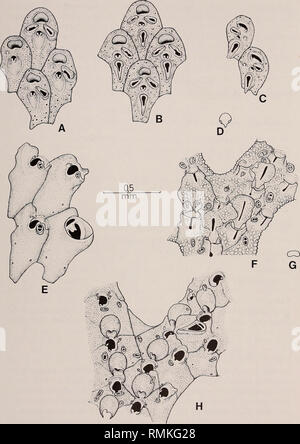 . Annals of the South African Museum = Annale van die Suid-Afrikaanse Museum. Natural history. THE SOUTH AFRICAN MUSEUM'S MEIRING NAUDE CRUISES 101. #%* Fig. 24. A-D. Adeonella alia sp. nov. A. Young zooids, with typical concave frontal walls. B. Later zooids, with characteristic development of frontal avicularia. C. Two zooids in oblique view to show peristomial denticle. D. Outline diagram of primary orifice. E. Reteporella dinotorhynchus Hayward & Cook. F-G. Sertella lata (Busk). F. Portion of a colony showing ovicelled zooids. G. Outline diagram of primary orifice. H. Schizoretepora te - Stock Photo