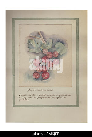 The fruits of the Ribes have refreshing and with them prepare syrups Hand drawn watercolor painting decorative -Ribes Grossularia - Stock Photo