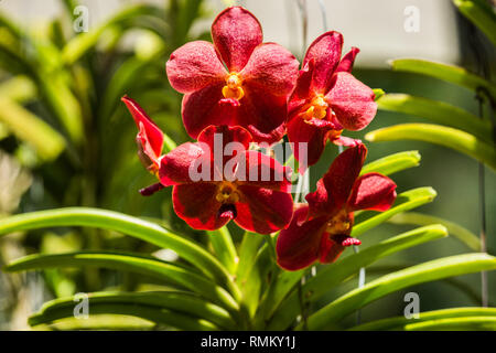 Close up of a flowering Red Orchid at the botanic garden on Mahe Island, Seychelles - Stock Photo