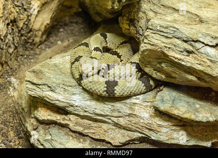 Banded Rock Rattlesnake (Crotalus lepidus klauberi) among rocks - Stock Photo
