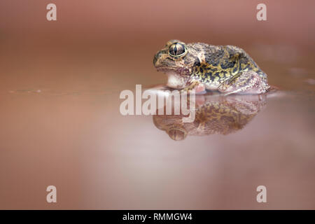 Close-up of a Sudell's Frog (Neobatrachus sudelli) sitting in muddy puddle of water, New South Wales, Australia - Stock Photo