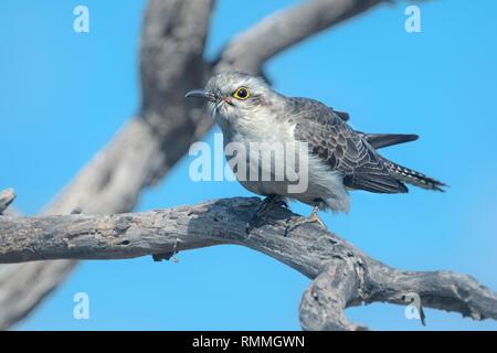 Pallid cuckoo (Cacomantis pallidus) perched on  a branch, Australia - Stock Photo