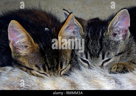 Close-up view on the heads of two grey tabby kittens being breastfed - Stock Photo