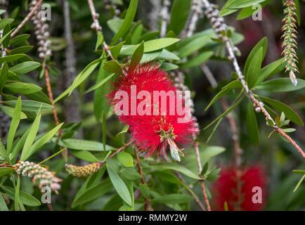Callistemon citrinus bottle brush red flower in garden - Stock Photo