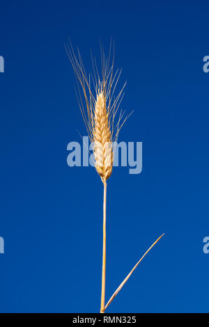 Single wheat straw with spike isolated on a crystal clear blue sky in background - Stock Photo