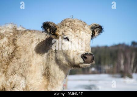 Galloway cattle (Bos primigenius taurus) in free range - Stock Photo