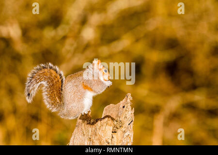 Blaenpennal, Aberystwyth, Wales, UK. 15th February 2019. A grey squirrel is foraging for food on an old tree stump in early morning sunshine. Credit:  - Stock Photo
