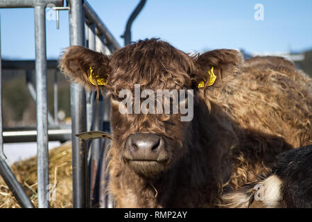 Galloway cattle (Bos primigenius taurus) in free range - Stock Photo