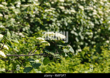 Viburnum lantana, also know as wayfarer or wayfaring tree. White flowers close up with green background. Nature, flowers, environment, parks and garde - Stock Photo