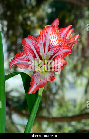 Fully bloomed flower of an unknown variety of amaryllis, presumably Minerva, crimson red petals with white reticulation, close-up view on flower - Stock Photo