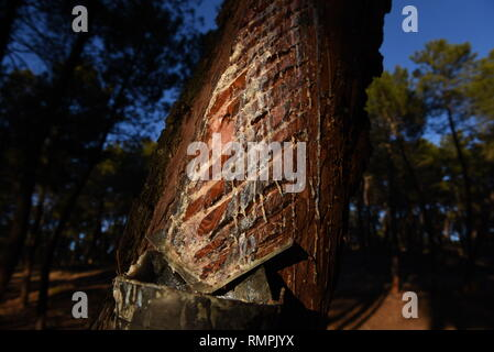 Tardelcuende, Soria, Spain. 15th Feb, 2019. A pine tree is seen dripping resin in a pine forest during the extration close to the village of Tardelcuende, north of Spain.The extraction of resin from pine trees has increased in rural areas of Spain in the last years due to economic crisis, and the higher demand and lower production in the European Union and China. Credit: John Milner/SOPA Images/ZUMA Wire/Alamy Live News - Stock Photo