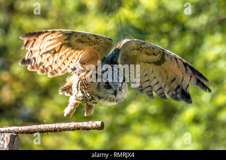 Siberian eagle owl, bubo bubo sibiricus. The biggest owl in the world - Stock Photo
