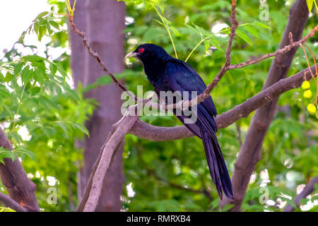 The Asian Koel sitting on a tree outside my home. this dark shiny black colored is a male Koel. It is alsoknown as song birds for it call style. - Stock Photo
