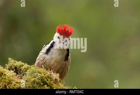 Middle Spotted Woodpecker in Cantabria, north of Spain - Stock Photo