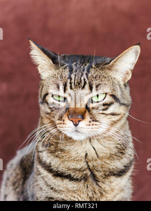 Very angry cat with narrowed green eye. Looks haughty and evil - Stock Photo