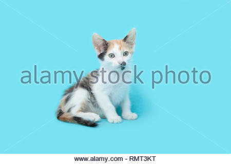 Young six week old white Calico kitten sitting up on  a blue blanket background. - Stock Photo