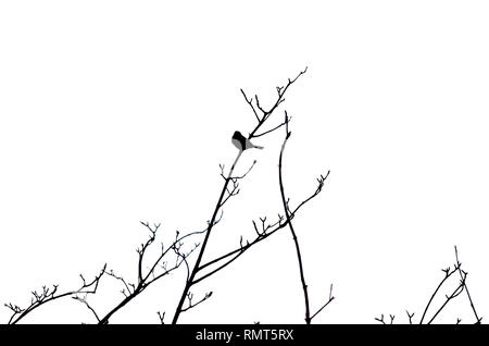 BLACK SILHOUETTE OF SMALL BIRD PERCHED ON TREE BRANCHES (WHITE BACKGROUND) - Stock Photo