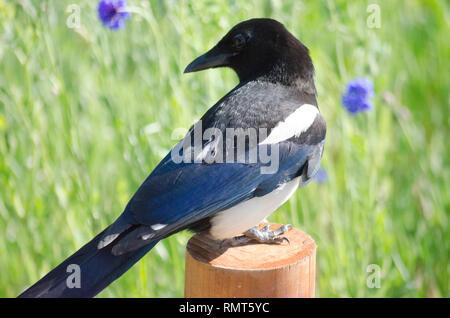EURASIAN COMMON MAGPIE PICA PICA BIRD - Stock Photo