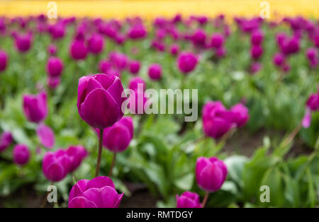 Purple tulips with one standing out amongst the others and yellow tulips in the distance in Oregon - Stock Photo