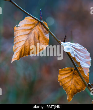 Brightly backlit autumn coloured Beech leaves in autumn winter, with shallow depth of field. New leaf buds already forming - Stock Photo