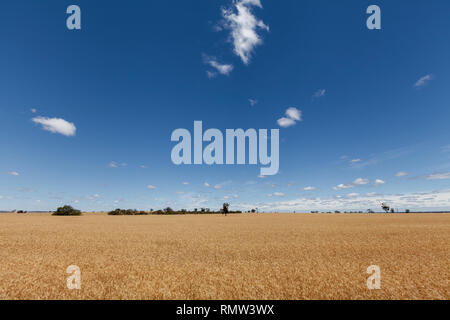 Gold Wheat flied panorama with tree at sunset, rural countryside - Image - Stock Photo