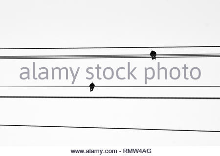 Two magpies perched on powerlines - a black and white, minimalist image evoking contemplation of themes such as man vs nature, and the energy crisis. - Stock Photo
