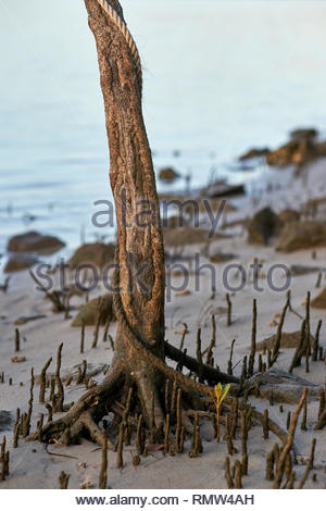 A dirty white rope, entwined around a mangrove tree trunk, roots and seedling, at low-tide on the banks of the mighty Clarence River, NSW, Australia. - Stock Photo