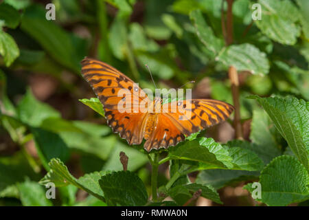 Gulf fritillary (Agraulis vanillae), aka passion butterfly, bright orange, dorsal view, feeding on umbelanterna (Lantana camara) flower, Paraguay - Stock Photo