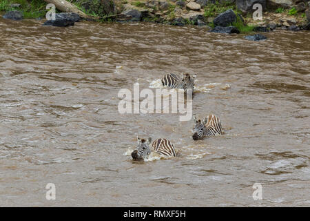 The crossing of zebras on the opposite bank of the Mara River. Kenya, Africa - Stock Photo
