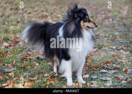Cute shetland sheepdog puppy is standing in the autumn foliage. Shetland collie or sheltie. Pet animals. Six month old. - Stock Photo