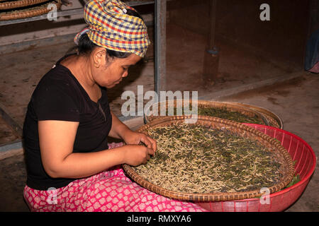 Cambodia, Phnom Penh, Koh Dach, Silk Island traditional weaving centre, woman separating silk worms from mulberry leaves by hand - Stock Photo
