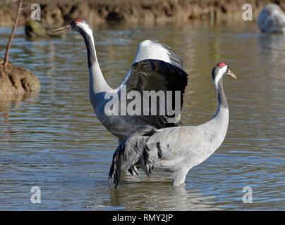 Common Crane - Grus grus  Pair wings open - Stock Photo