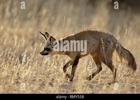 A bat-eared fox (Otocyon megalotis) in natural habitat, Kalahari desert, South Africa - Stock Photo