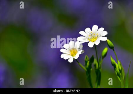 White flowers & Bluebells, Lesser Stitchwort, Hardcastle Crags, Hebden Bridge - Stock Photo