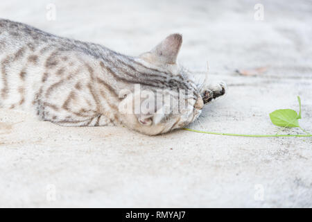 young cat eating the root of indian acalypha three seeded