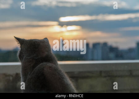 Scottish purebred gray cat looks outdoor at the evening urban landscape - Stock Photo