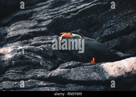 Inca Tern - Larosterna Inca sitting on a rocky coast cliff - Stock Photo