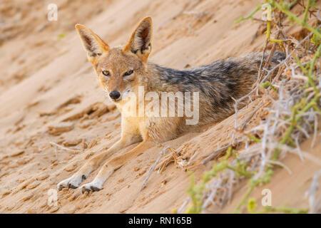 Black-backed Jackal - Canis mesomelas, beautiful young jackal posting in the sand of Namib desert, Walviss Bay, Namibia - Stock Photo