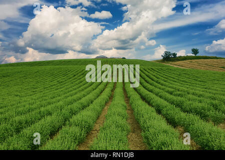 Scenic view of basil crops over a blue sky with clouds. Coriano, Emilia Romagna countryside, Italy - Stock Photo