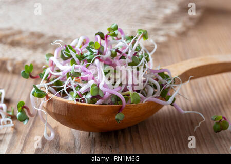 Fresh pink radish sprouts on a wooden spoon - Stock Photo