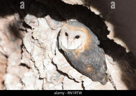 Western Barn Owl or Ghost Owl, Tyto alba, rosoting in a deep disused rocky well shaft, Kgalagadi Transfrontier Park, Northern Cape South Africa - Stock Photo