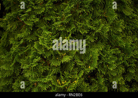 Ornamental shrubs Wall shrubs green background bush Stock Photo
