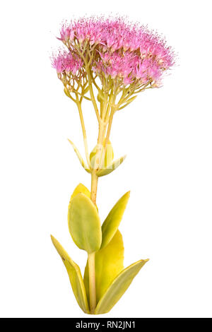 Stem with leaves and multiple heads of pink flowers from a sedum cultivar (Sedum or Hylotelephium spectabile) isolated against a white background - Stock Photo