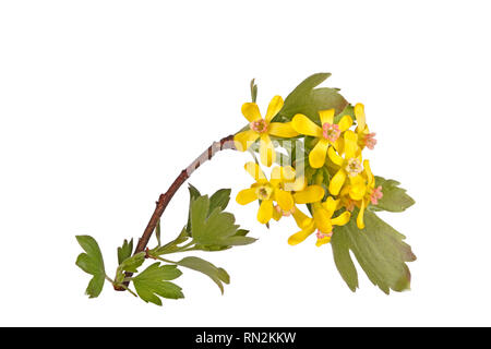 Stem with many yellow flowers of the North American native clove currant (Ribes odoratum) isolated against a white background - Stock Photo