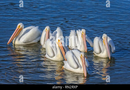 A group of American white pelicans (Pelecanus erythrorhynchos)  a large aquatic soaring bird floating together in a lake - Stock Photo