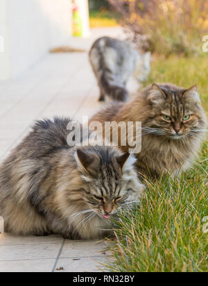 Tabby furry cats of siberian breed in a garden,long haired hypoallergenic pets - Stock Photo